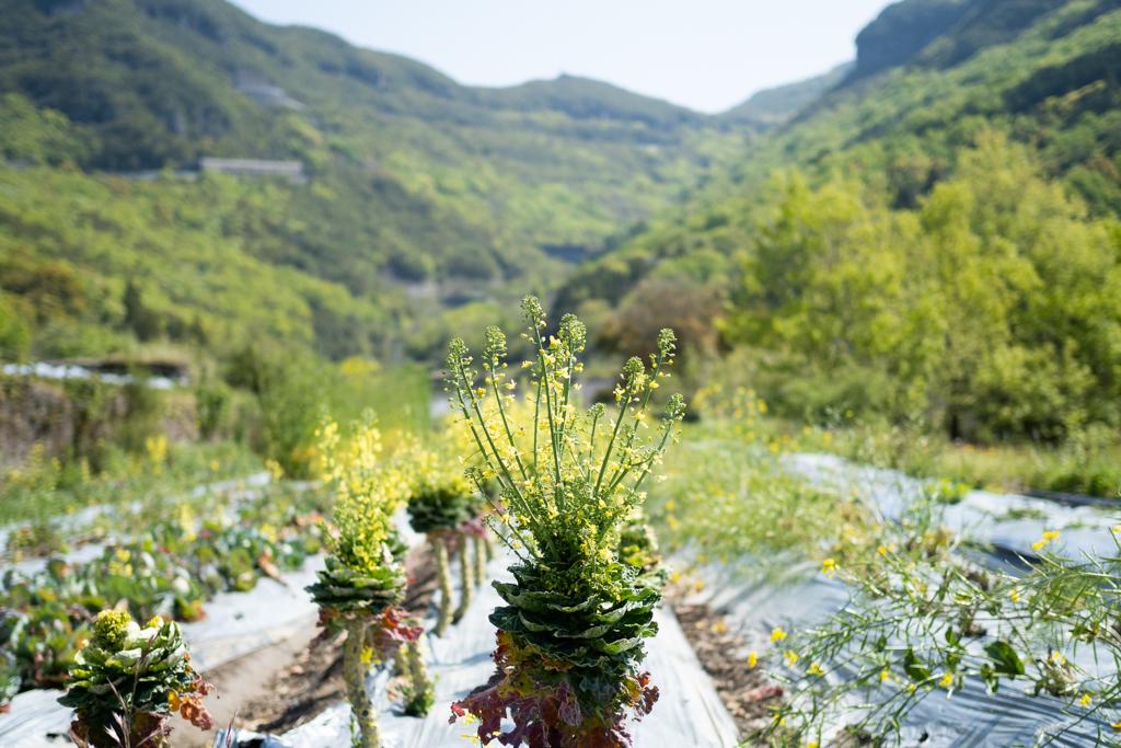 芽キャベツの花