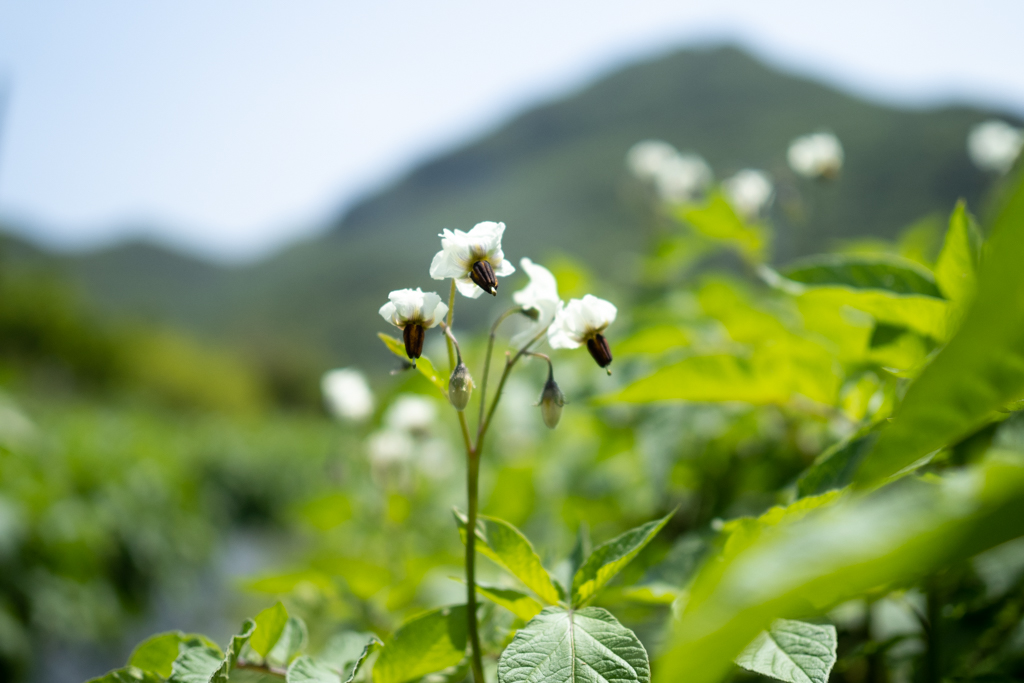 紫色のジャガイモ、シャドークイーンの花は白