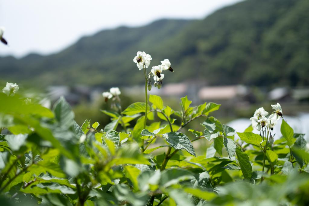 ジャガイモの花 シャドークィーン