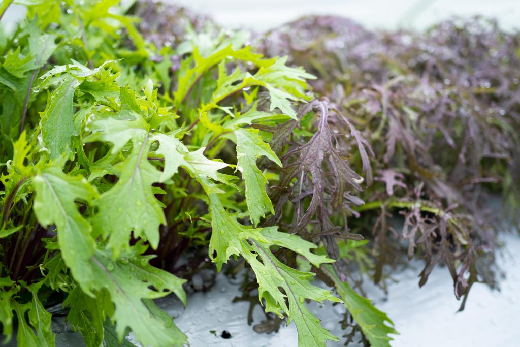 赤紫水菜 赤リアスからし菜
