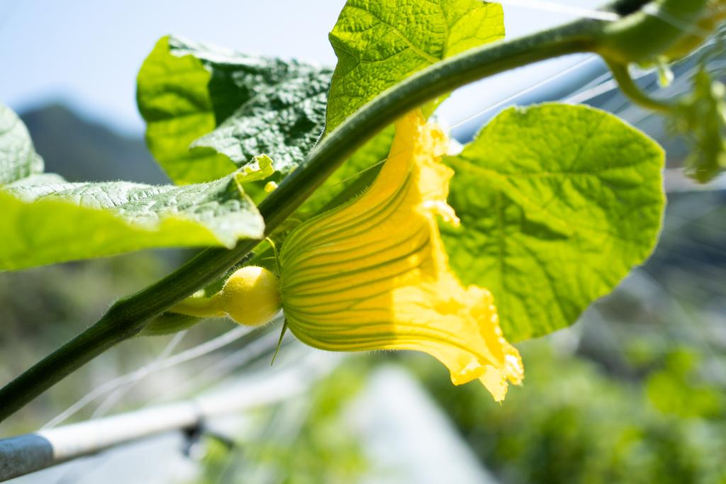 初夏の野菜、生で食べられるかぼちゃ「コリンキー」の花
