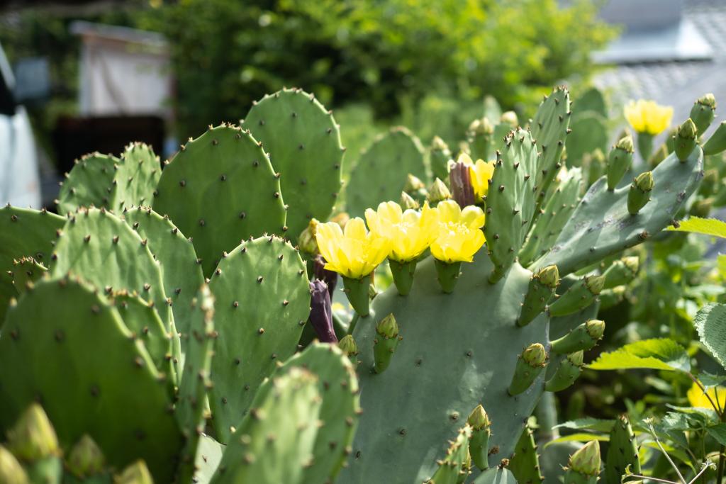 ウチワサボテンの黄色い花