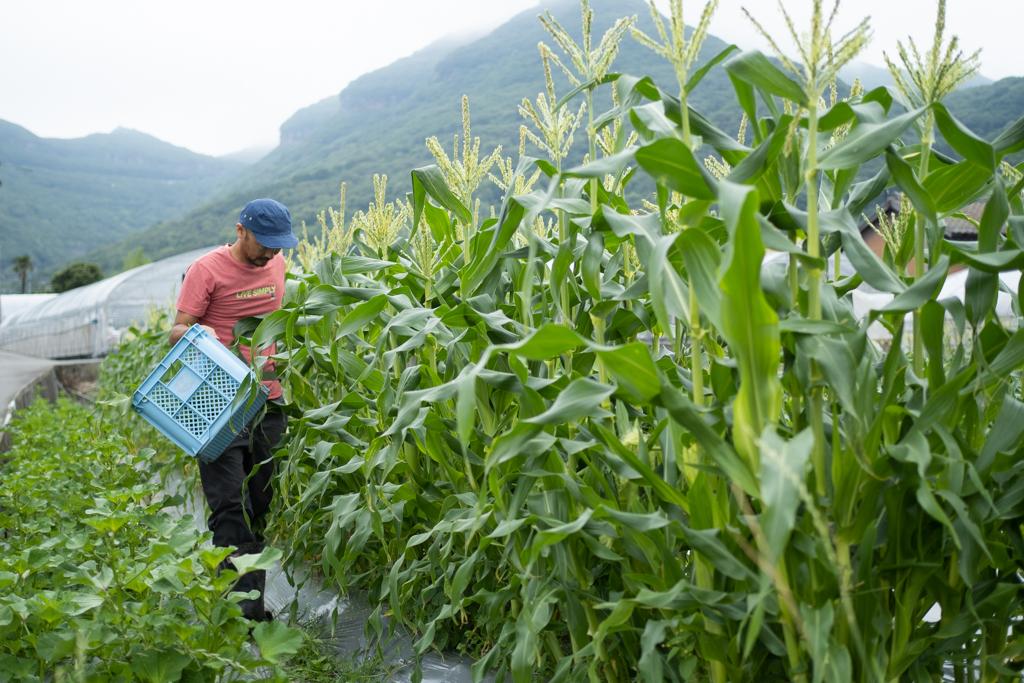ヤングコーン収穫