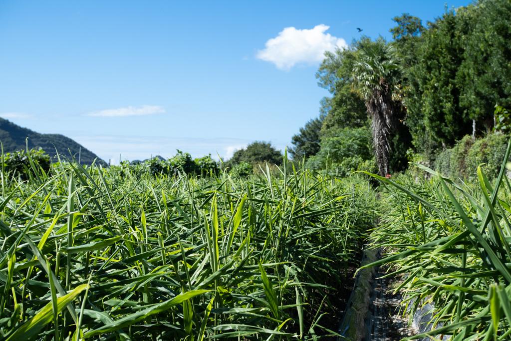 南国みたいな生姜畑